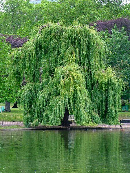 buy weeping willow trees   tree center