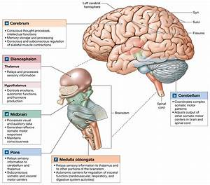 14 1  The Brain Develops Four Major Regions  The Cerebrum