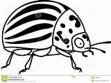 Beetle Adult Colorado Potato Erwachsener Coloring Terre Pomme Plante Coloration Avec Weissem Hintergrund Illustrations Adulte Scarabee sketch template