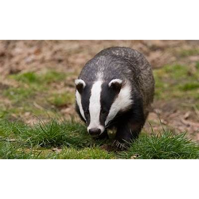 Badger cull failed humaneness test independent panel