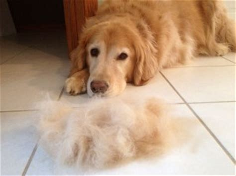 Dogs That Shed Hair by Shedding
