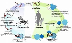 File Leishmaniasis Life Cycle Diagram En Svg