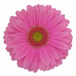 Light Pink Gerbera Daisy Blooms
