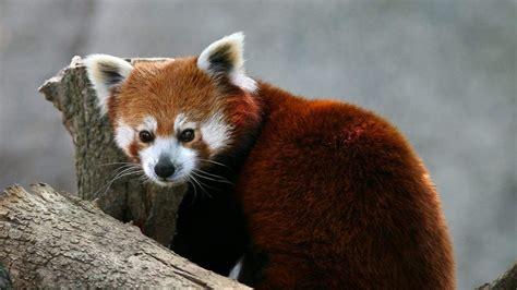 oso panda rojo  fondos de pantalla  wallpapers
