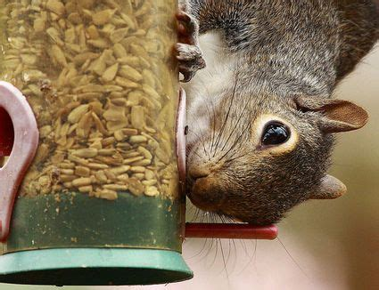 do squirrels eat nyjer seed birdwatching tips