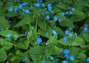 Blau Blühender Bodendecker : omphalodes verna waldgedenkemein 2 bodendecker blaue bl te ~ Frokenaadalensverden.com Haus und Dekorationen