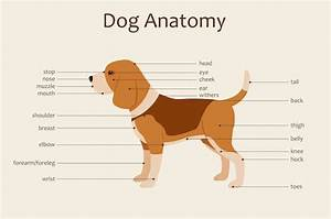 A Visual Guide To Dog Anatomy Muscle Organ Skeletal
