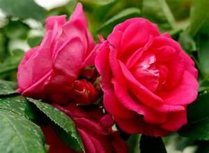 Маска из лепестков роз от морщин