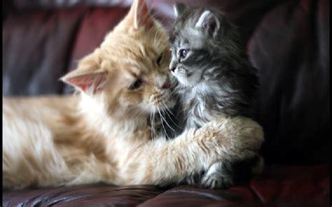 Beautiful Cat And Kitten Cats Wallpaper 16122479 Fanpop