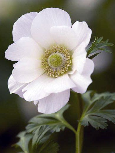 17 best images about anemone on scarlet