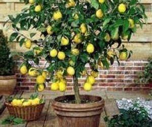 alberi da frutto in vaso pianta di limone in vaso da esterno orto piantare un