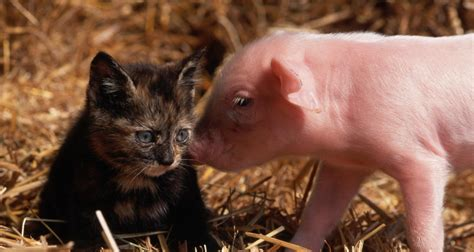 Baby Animal Wallpapers - baby pig wallpapers baby animals