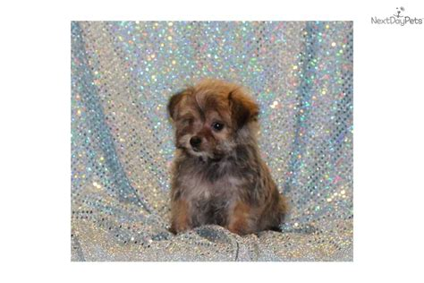 Tiny Non Shedding Breeds by Small Breeds Breeds Picture