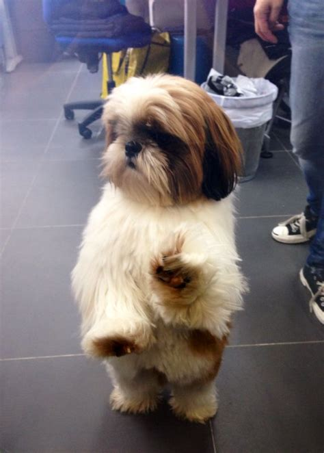 4442 best images about shih tzu on pinterest little dogs