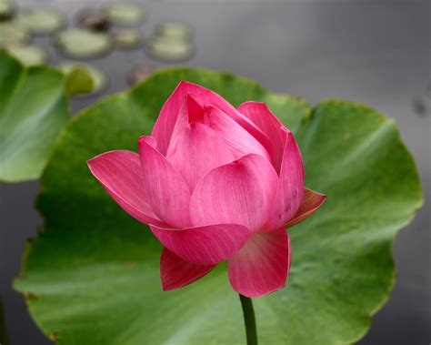 lotus garden 43 photos 108 file maggie slocum sacred lotus at