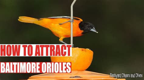 attract baltimore orioles backyard diners