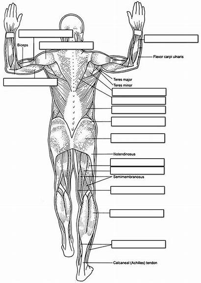 Muscle Anatomy Coloring Worksheet Labeling Answers Worksheets