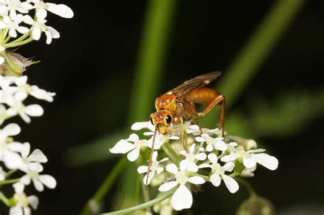 http://www.naturshow.dk/Insekter/FluerOg%C5revingede/1-FluerOgAarevingedeValg.html