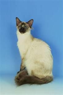balinese cat balinese cat breed balinese cat breed