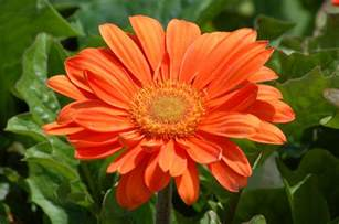 small bathroom colors ideas gerbera flowers tender perennial in many colors