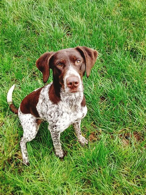 Anyone have experience raising a German Shorthaired