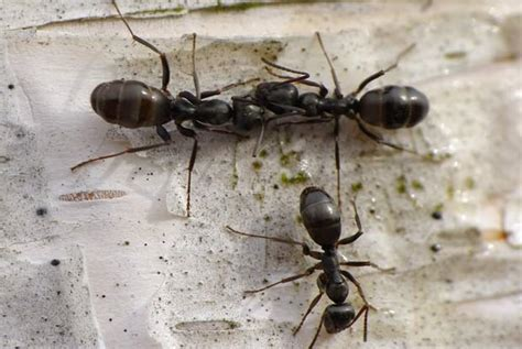 small ants little black ants portland pest guard