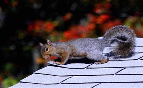 rid  squirrels chipmunks guide