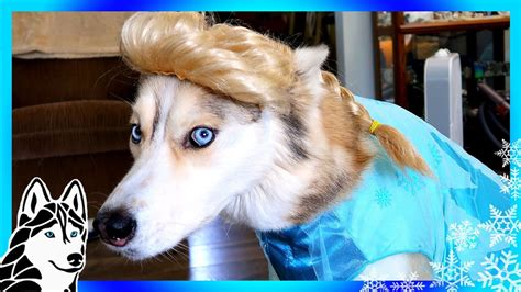 frozen shelby  husky dogs  halloween  costumes