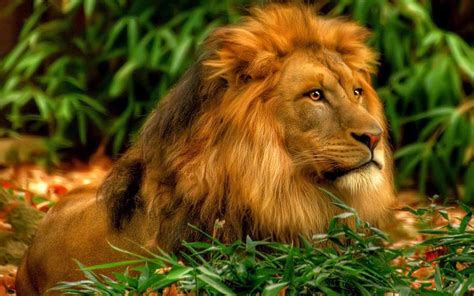 loin wallpaper images pictures hd wallpaper loin