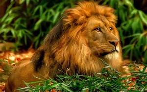 Loin Wallpaper images pictures Hd-wallpaper loin ...