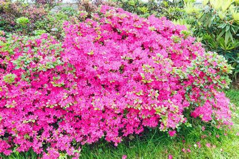 rosa blühender strauch bl 252 hende rhododendron strauch mit rosa stockfoto colourbox