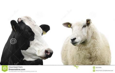 sheep stock photo image