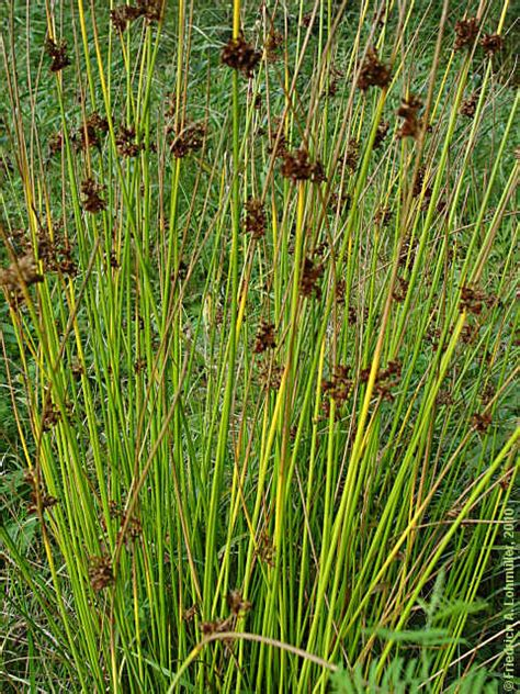 Juncus effusus - Health effects and herbal facts