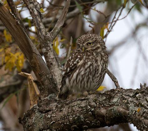 owl  zealand birds