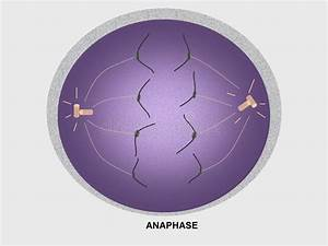 Cell Division Anaphase Stock Illustration  Illustration Of Nucleus