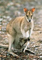 The Tammar Wallaby Genome: A Closer Look at Marsupial ...
