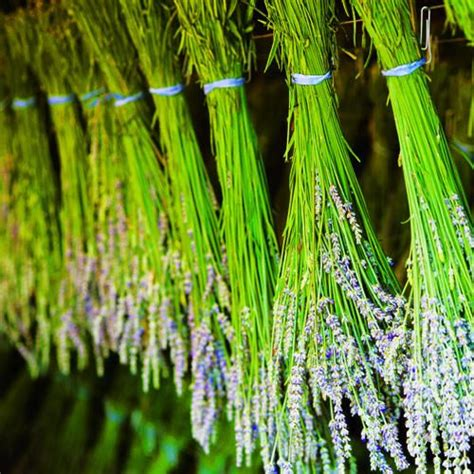 how to care for lavender bushes your guide to planting care and harvesting lavender