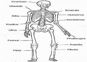 52 Skeletal System Coloring Pages Free Printable