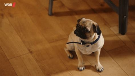 mops gifs find share  giphy