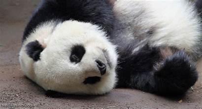 Panda Osos Tumbado Oso Gifmania Animados