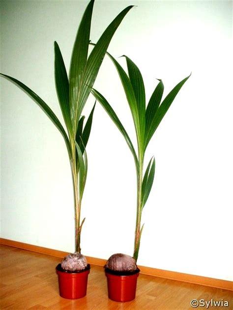 cocos palme pflege cocos nucifera
