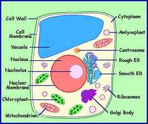 Printable Plant Cell Diagram