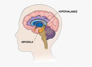Human Brain Prefrontal Cortex Diagram