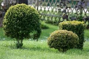 Buchsbaum Befall Raupen : die buchsbaum motte so werden sie den sch dling los ~ Watch28wear.com Haus und Dekorationen