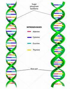 Dna Molecule Vector Diagram  U2014 Stock Vector  U00a9 Edesignua