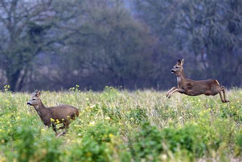 angry deer attacks hunter   shot   win