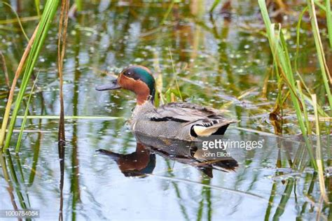 Teal Duck Stock Photos And Pictures Getty Images