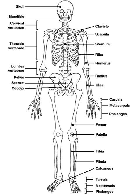 bones   sternum humerus pelvis radius ulna
