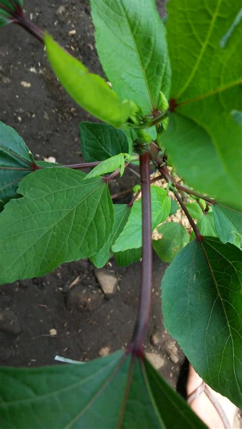 pohon bunga rosella merah