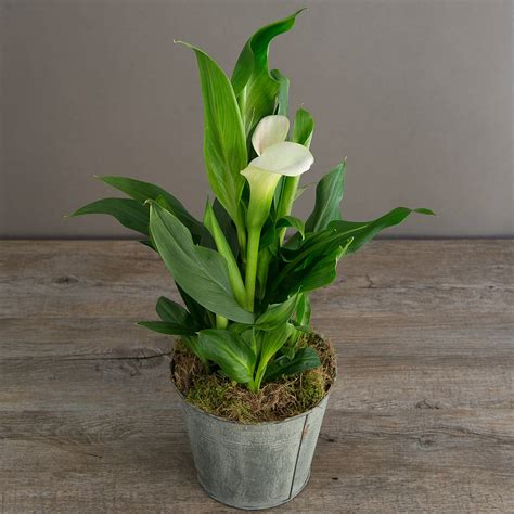 how to plant lillies calla plant